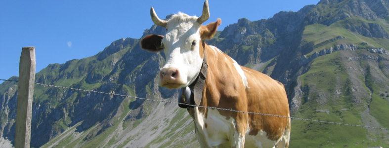 Vaca suïssa-suiza